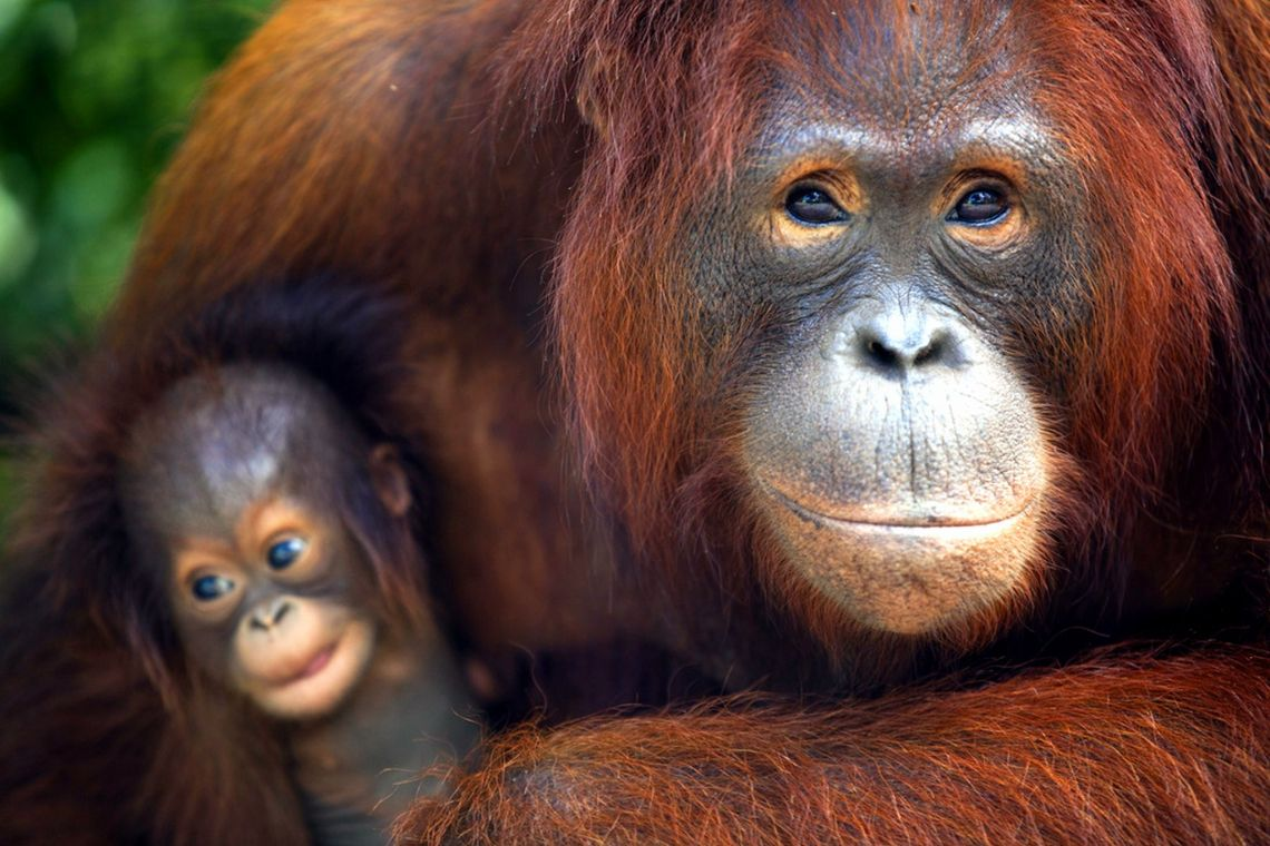 Orangutans, near Camp Rasak, Lamandau Wildlife Reserve, Central